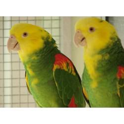 Amazone à double tête jaune